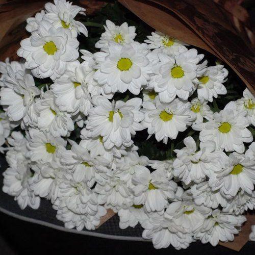 хризантемы фотоотчет